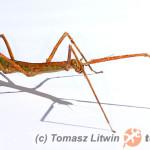 Medauroidea extradentata – patyczak rogaty
