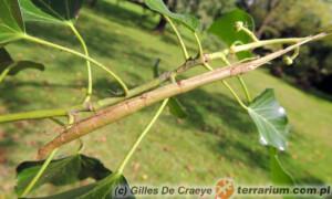 Carausius morosus – patyczak indyjski