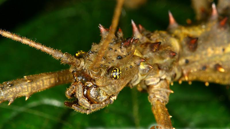 Aretaon asperrimus – straszyk rogaty