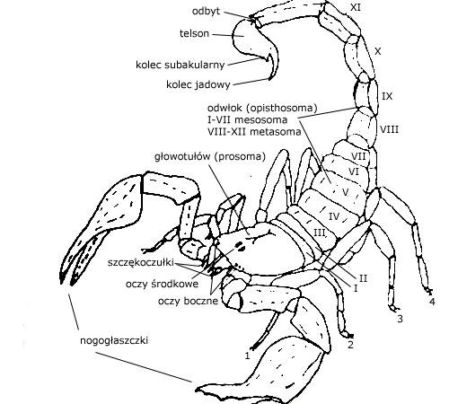 Budowa skorpionów