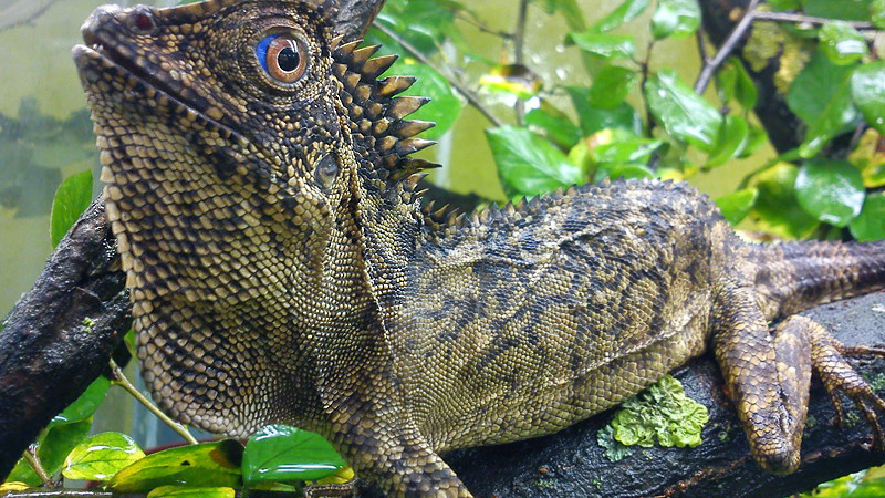 Gonocephalus spp. – drakuny, kątogłówki, agamy kątogłowe, agamy leśne