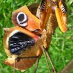 Deroplatys desiccata – modliszka liść*