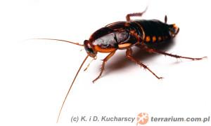 Shelfordella lateralis – karaczan turecki