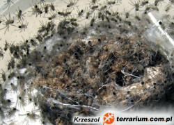 Lasiodora parahybana – ptasznik olbrzymi – raport rozmnożeniowy