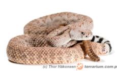 Crotalus atrox – grzechotnik teksaski