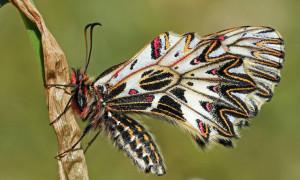 Papilionidae – paziowate