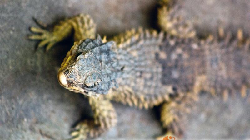 Cordylidae – szyszkowcowate, jaszczurki kolczaste