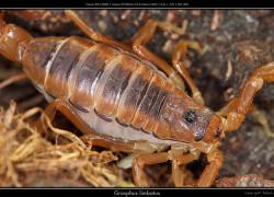 Grosphus limbatus
