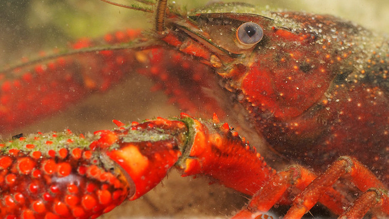 Procambarus clarkii – rak luizjański