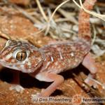 Chondrodactylus angulifer