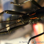 Anisomorpha paromalus – straszyk plujący