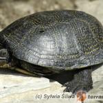 Rozpoznawanie płci u żółwia błotnego po kolorze tęczówki