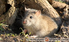 Rattus norvegicus – szczur wędrowny