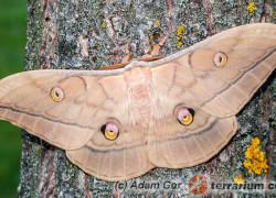 Saturniidae – pawicowate