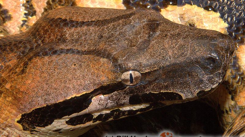 Acrantophis madagascariensis