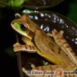 Smilisca phaeota – rzekotka kostarykańska