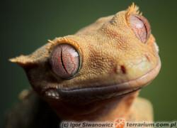 Correlophus (Rhacodactylus) ciliatus – gekon orzęsiony
