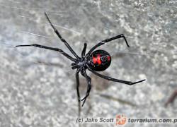 Latrodectus mactans – czarna wdowa