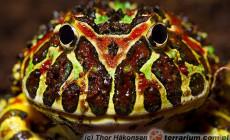 Ceratophrys ornata – żaba rogata