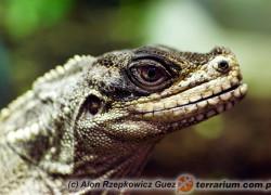 Hydrosaurus weberi – agama żaglowata Webera*