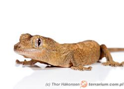 Mniarogekko chahoua – gekon omszały