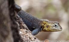 Agama spinosa – agama kolczasta