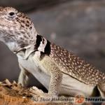 Crotaphytus collaris – obrożniak zwyczajny, legwan obrożny*