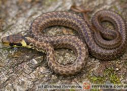 Węże właściwe – hodowla pojedynczo czy w grupie?