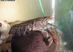 Raki marmurkowe (Procambarus fallax): Naturalnie klonujące się raki