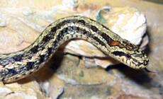 Elaphe dione – wąż diony