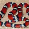Lampropeltis triangulum celaenops - wąż mleczny