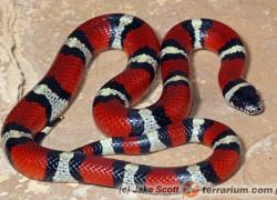 Chcę kupić węża!
