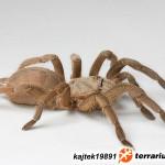 Chilobrachys huahini – ptasznik