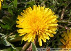 Taraxacum officinale – mniszek lekarski