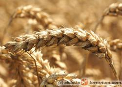 Kiełkowana pszenica