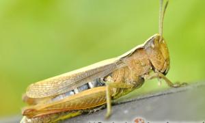 Orthoptera – prostoskrzydłe