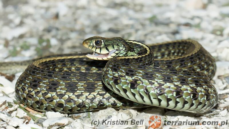 Thamnophis sirtalis – wąż pończosznik