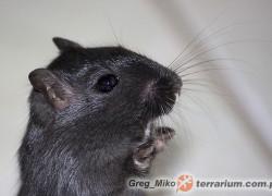 Meriones unguiculatus – myszoskoczek mongolski