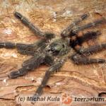 Tapinauchenius subcaeruleus