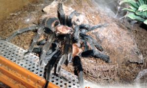Cyclosternum fasciatum – raport rozmnożeniowy 2