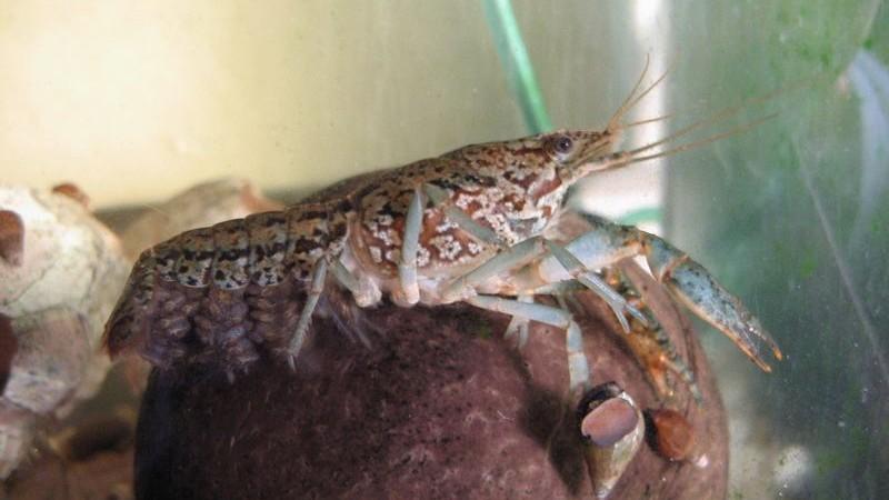 Procambarus fallax forma virginalis – rak marmurkowy
