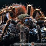Acanthoscurria brocklehursti