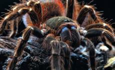 Acanthoscurria ferina