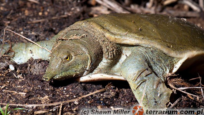 Pelodiscus sinensis – żółwiak chiński