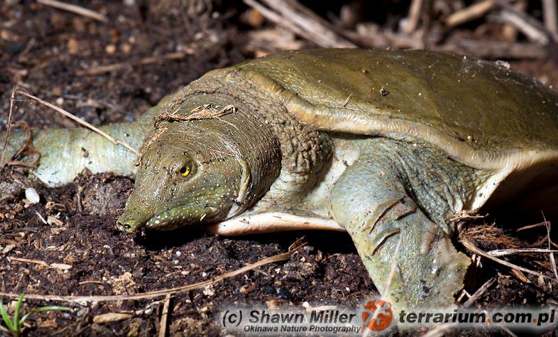 Pelodiscus sinensis - żółwiak chiński