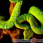 Corallus caninus – boa psiogłowy