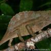 Rieppeleon (Rhampholeon) brevicaudatus - kameleon liściasty brodaty*