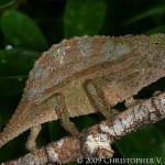 Rieppeleon (Rhampholeon) brevicaudatus – kameleon liściasty brodaty*