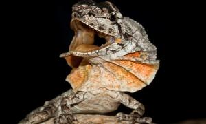 Agamidae – agamowate, agamy