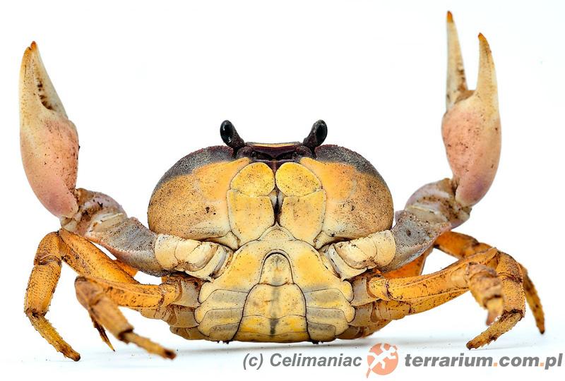 Cardisoma armatum - krab tęczowy